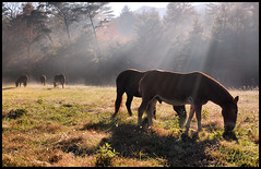 Breakfast. (BamaWester) Tags: morning light horses animals dawn bravo tennessee pasture rays livestock mules cadescove gsmnp bamawester napg