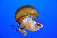 "JellyFish ("""" Arun) Tags: blue sea fish water vancouver swimming aquarium nikon jellies jellyfish jelly arun potofgold d90 nikond90 medusozoa pog01animalden"