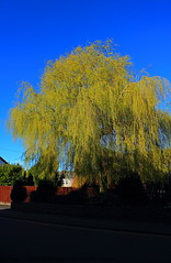 Weeping Willow (Dolwolfian) Tags: tree art architecture photoshop canon arbol eos photo search perfect flickr view shot image photos shots d postcard www images best willow com arbre weeping thebest topic 550 salix cartepostale googlecom saule pleureur picturesq babylonica yahoocom goldstaraward imagesyahoocom flickaward imagesgoolecom