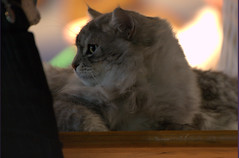 DSC_0127 (Francesco_Fontana) Tags: cat kat chat gato katze mace  macska gatto  con kot gat koka kedi kass katt kissa kttur maka kucing pusa mo   kat     pisic  qattus   kais