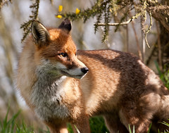 Vixen, Over your shoulder gaze to the horizon, a little pout if you can. (Ian Hayhurst) Tags: fox vixen vulpesvulpes britishwildlifecentre specanimal animalkingdomelite canonef200mmf28liiusm
