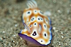 Chromodoris Leopardus with flying mantle (Luko Gecko) Tags: macro coral underwater scuba nudibranch reef maluku chromodoris ambon chromodorisleopardus muckdive
