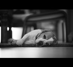being lazy this morning (fofiko) Tags: bw dog beagle animal female friend candy