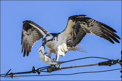 osprey, pandion haliaetus (hakoar) Tags: life blue portrait sky brown white black cute bird eye nature beautiful face look animal fauna fly us flying bill wings eyes colorful branch pattern looking legs florida head wildlife tail unitedstatesofamerica nail watch leg watching dive wing beak feathers feather fast nails claw raptor fisher northamerica strong balance hunter resting vulture predator quick wingspan claws osprey birdofprey pandionhaliaetus scavenger carnivore plumage