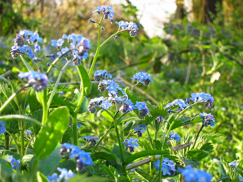 Forget-me-nots on Hampstead Heath