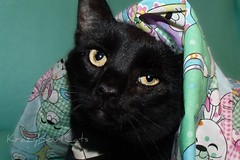 My Sweet Boy (KrazyBoutCats) Tags: cats pets animals easter kittens felines