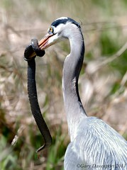 Super-Size!! (Garebear400) Tags: blue wild bird heron nature snake wildlife great prey nwr ridgefield gbh thewildlife