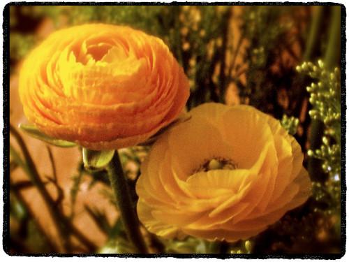 Ranonkel (Ranunculus asiaticus) by Marcel van Gunst
