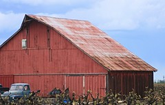 Barn and Chevy (mhall209) Tags: chevrolet truck antique farm pickup chevy grapes agriculture lodi sanjoaquincounty edtech3652011