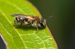 Andrena dorsata (Will_wildlife) Tags: sandy bee thelodge rspb andrenadorsata