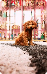 in the dolly toy room (girl enchanted) Tags: red dog ikea vintage puppy toy carpet toys junk barbie collection collections poodle stuff messy doggy 3months barbies collectables pinocchio myroom clutter collectable toypoodle poodlepuppy redpoodle