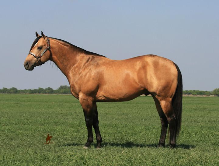 horses quarter dude horse hancock bucks stallion roping buckskin lewis bobby barrel namgis pretty types blondy dun discover