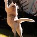 Vår tjocke katt Chilli blir smal när han jagar citronfjärilar...
