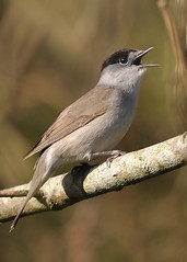 Blackcap (Sylvia atricapilla) (Ronan.McLaughlin) Tags: ocean blue ireland sea irish white bird nature water birds woodland coast spring nikon marine wildlife cork atlantic shore maritime blackcap greatisland d90 sylviaatricapilla cuskinny irishwildlife sigma150500 ronanmclaughlin