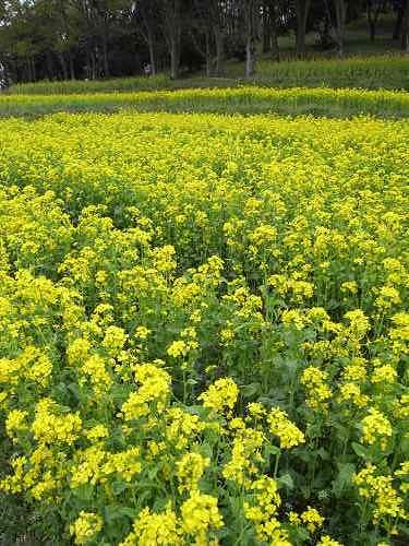 春の花々@明日香村-06