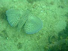Peixe-voador (Raphael R. Pais) Tags: ocean sea fish coral mar sand rocks underwater mergulho dive pedras arraialdocabo fotosub photosub volitans exocoetus