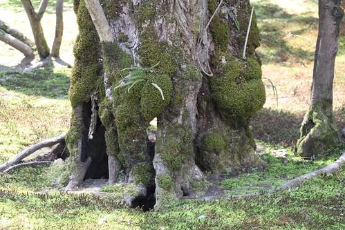苔むす古木の根