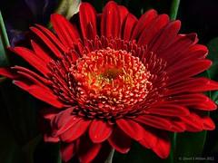 Aflame (David S Wilson) Tags: flowers red england flower spring gerbera ely lr3 2011 wonderfulworldofflowers panasonicdmcg1 adobelightroom3 leica45mmf28macrolens