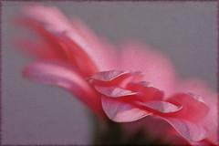 Pink Gerbera (Tuppence 2009) Tags: pink flower macro texture closeup bokeh gerbera 35 textured week16 peeerica 52weeks2011 111picturesin2011