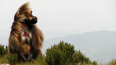 The endemic gelada in Guassa (Solimar International) Tags: community conservation guassa areaethiopia