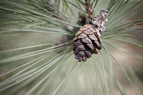 119:365 Pinecone