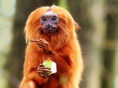 orange holland netherlands zoo monkey klein finger small nederland free cc creativecommons gesture apenheul aap apeldoorn oranje vinger gesticulate goldenliontamarin middelvinger gebaar freetouse goudenleeuwaap gebaren alittlebeauty