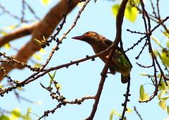 Brown Headed Barbet (VeeeeBeeee) Tags: brown headed barbet