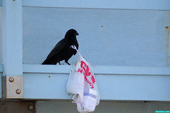 Exhausted (mcshots) Tags: california usa bird beach birds trash neck coast losangeles stock flight strangle socal plasticbag crow mcshots twisted