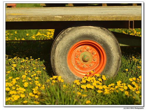 Orange Wheel in a field of Dandelions