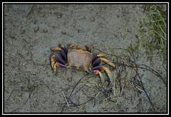 EL SEOR CANGREJO (BLAMANTI) Tags: animales crustaceos