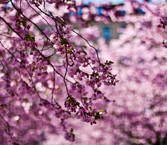 Its the annual cherry blossom moment (explored) (Sina Farhat) Tags: flowers blue trees friends light color colour canon garden gteborg cherry spring colorful raw transformation time blossom sweden bokeh background details gothenburg shapes lila lilac short photowalk theme sverige former colourful tid rund vnner trd trdgrd vr gteborguniversitet bl 031 kort wideopen autofocus tema ljus detaljer blommer primelens 50d bakgrund skrpedjup canon50mm14usm liveview lightroom3 fotopromenad helppen fotosondag omvandling fs110424 frgfylld