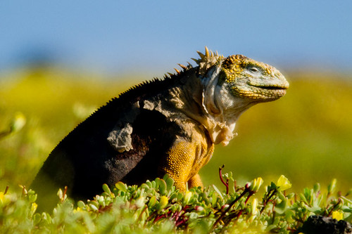 Land Iguana profile at Islas Plaza on Santa Cruz Island