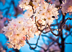 Cherry Blossoms -  (Tom Cooke) Tags: uk england plant flower cherry blossoms cherryblossoms