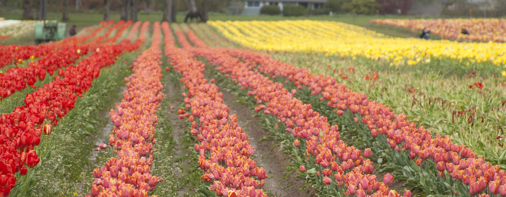 wooden shoe tulip farm 8