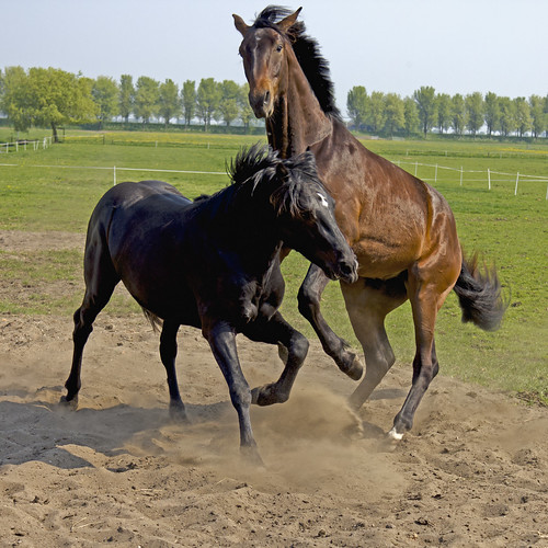 Horses playing together by cone_dmn, on Flickr