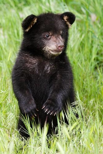 Baby black bear-3.jpg