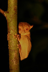 Western Tarsier - Tarsius bancanus - Borneo (Paul B Jones) Tags: camera wild expedition nature animal animals night trekking trek canon river lens asian mammal outdoors monkey rainforest asia nocturnal wildlife 300mm adventure jungle valley malaysia borneo tropical 300 mammals malaysian sabah f4 tarsier danum bugeyes ecotourism brl danumvalley pauljones tarsius 300f4 bornean borneorainforestlodge bancanus westerntarsier tarsiusbancanus cephalopachus cephalopachusbancanus paulbjones