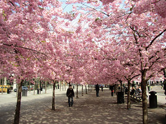 Alley of cherrytrees (Per Ola Wiberg ~ Powi) Tags: beautiful sweden stockholm loveit april cherrytrees kungstrdgrden yourbeautifulphotos givemefive fotoclub 14kgold 2011 finegold photohobby kungsan goldheart thegalaxy topshots a magicofnature ourfaves thethreeangels flickraward flickrbronzeaward heartawards eperke flckrhearts exemplaryshotsflickrsbest energiapositiva goldstaraward magicaltouch theworldwelove spiritofphotography qualifiedmembersonly beautifulshot pink|purple|green naturesphotos panoramafotogrfico flickrspictureperfect photographerparadise artofimages creativeyeuniverse thebestofmimamorsgroups absolutelyperrrfect ~exclusivity~ peopleenjoyingnature youandtheworld pegasusaward shininghearts fabulousplanet theoriginalgoldseal mygearandme mithopeesperana naturesanctuary buildyourrainbowtransparent thewonderfulnatureworld thenaturessoul ~~cherishyourdreamsandvisions~~ mmartisticphotos flickrbronzetrophygroup broochawards hellofriend enjoygroup natureskingdomawards majesticphotography city0fangels 3starsaward adminsfavorites