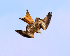 Dive,dive  !!!!!!! (Andrew Haynes Wildlife Images) Tags: nature wales wildlife flight redkite rhayader gigrinfarm ajh2008