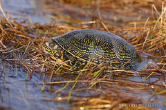 Emys orbicularis (Nikola Rahme) Tags: nature europe hungary terrapin reptilia emydidae pondturtle