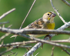 Dickcissel (female)