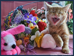Cute Easter Kitty Cat Kitten in Home Garden Art Decor with Easter Eggs, Stuffed Bunny Rabbits & Spring Flower Basket with Daffodils & Tulips on an Easter Holiday Weekend in Canada. Cute Kitty Cat Kitten ...Kitty Cat Kitten...Cute Kitty Cat Kitten... (Chantal PhotoPix) Tags: family pink flowers decorations friends light wallpaper portrait pet holiday canada flower color cute rabbit bunny bunnies art nature beautiful beauty animal cat photoshop canon painting easter fun photography photo interestingness spring amazing kitten feline funny colorful day basket purple artistic photos sweet pastel background awesome tabby egg interestingness1 yawn kitty best hires baskets mainecoon eggs rabbits lovely decor hdr cutecat easterbunny yawning eastereggs homeandgarden easteregg cutekitten easterbasket easterrabbit easterbunnies easterbaskets chantalc easterrabbits lolcats chantal777livecom