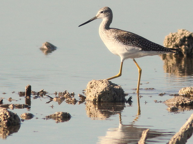 Greater Yellowlegs 2-20110426