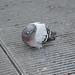 Milano: piccione sullo sfogo dell'aria