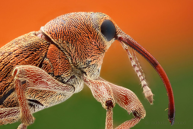 Nut weevil @ 7× (focus stack)