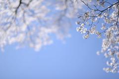 20110417 Tsumago 5 (Sakura day) (BONGURI) Tags: nikon 桜 cherryblossom sakura nagano 長野 tsumago さくら サクラ 妻籠 妻籠宿 tsumagojuku nagiso d3s sigma50mmf14exdghsm 南木曽 gettyimagessakura gettyimagesjapanq2