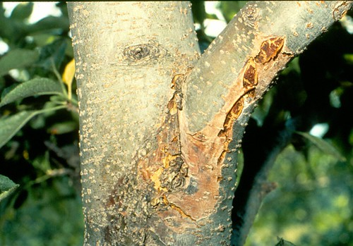Canker on apple limb caused by the white rot fungus. Photo courtesy James W. Travis, Penn State University.