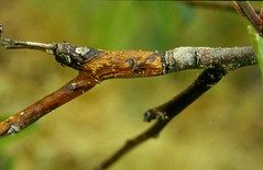 Close up view of previous year's fruit node killed by the Nectria twig blight fungus. Photo courtesy of Alan R. Biggs, West Virginia University.
