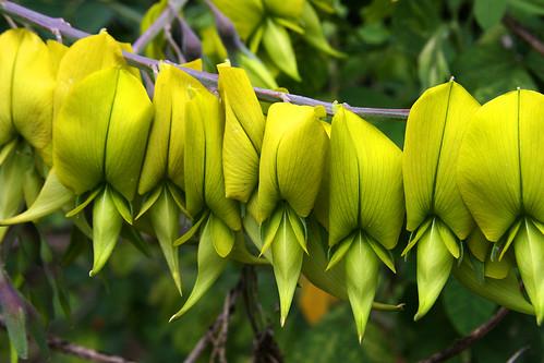 huntington crotalaria agatifolia