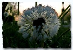 Löwenzahn Pusteblume - Taraxacum - Common Dandelion - Taraxacum officinale - pissenlit officinal (normandie2005_horst Moi_et_le_monde) Tags: löwenzahn pusteblume taraxacum commondandelion taraxacumofficinale pissenlitofficinal bokeh